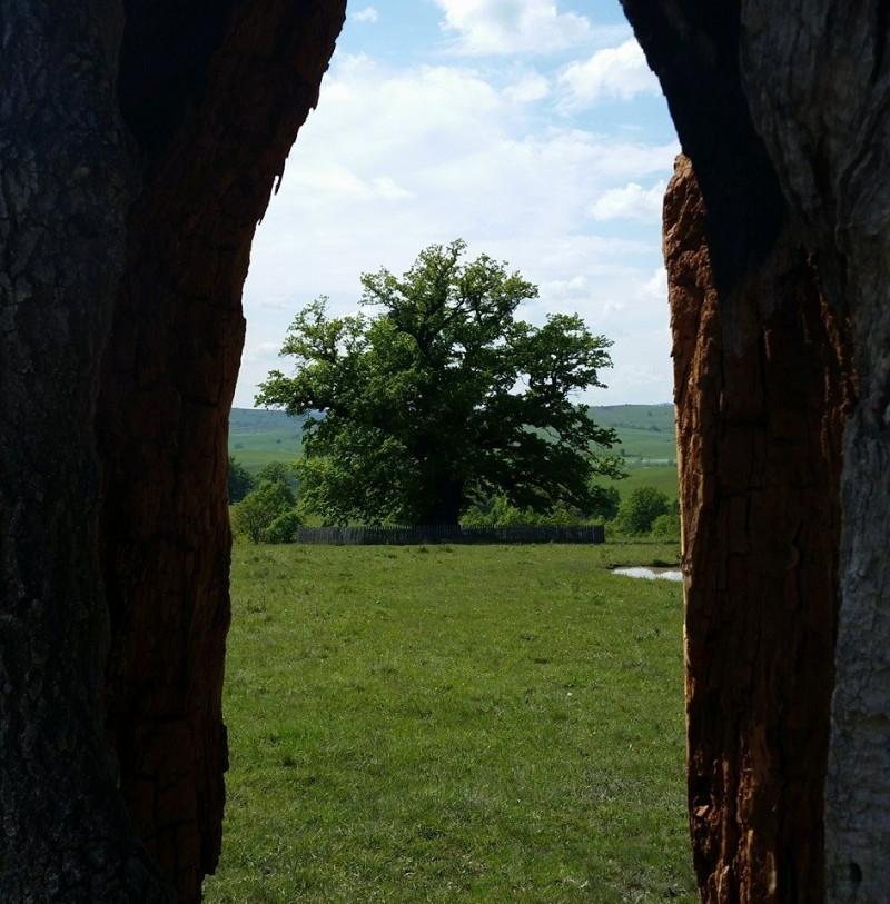 stejar 4 foto stejarul din mercheasa