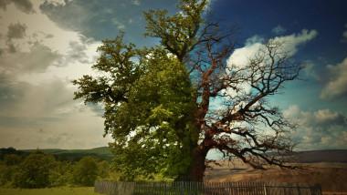 stejar 1 foto stejarul din mercheasa