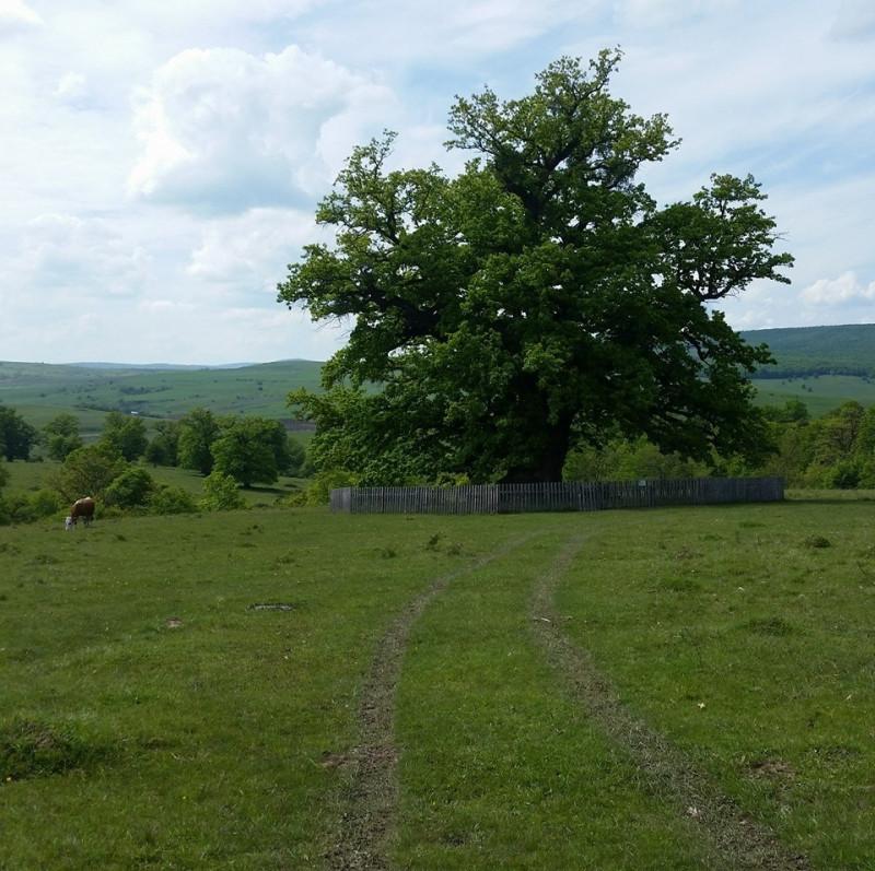 stejar 2 foto stejarul din mercheasa