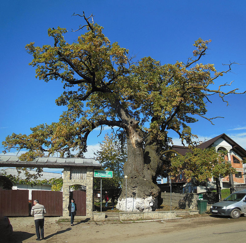 Stejarul_multisecular_din_Cajvana