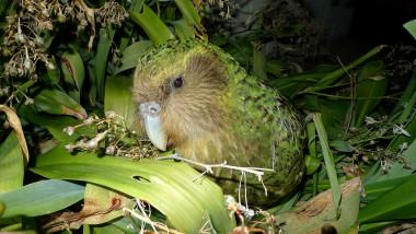 1920px-Kakapo_Sirocco_1