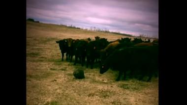 castorul si vacile