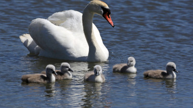 Cygnets Hatch Early At Abbotsbury Swannery As Summer Approaches