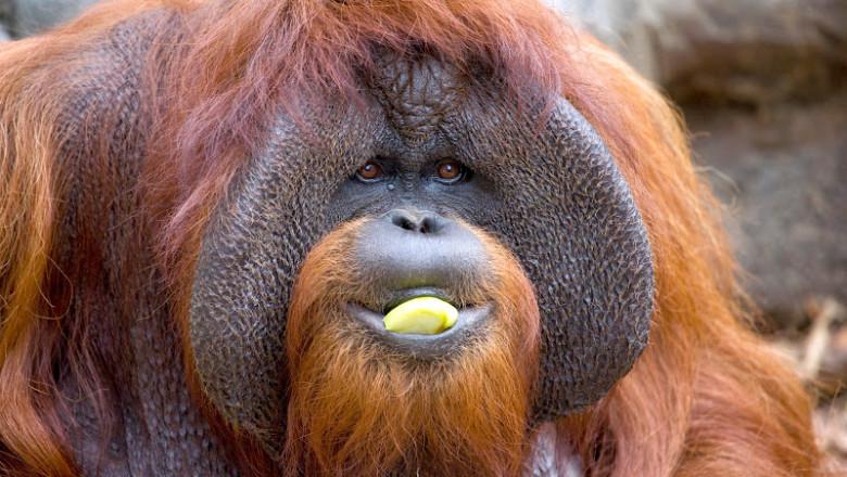 orangutan_chantek_ZA_5327