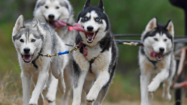 The Husky Dog Club Prepares For The Aviemore Annual Sled Rally