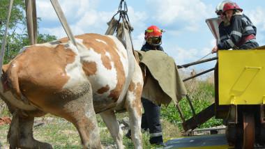 vaca salvata (8)