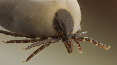 capusa ixodidae foto wikipedia