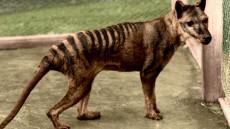 tigru tasmanian