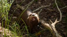 "Washington's National Zoo Previews ""American Trail"" Exhibit"