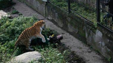 femeie atacata de tigru