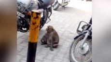 maimuta drogata cu benzina