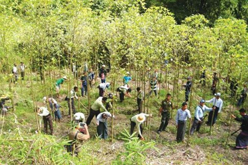 plantatie de kratom distrusa