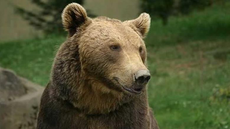 ursul de pe wiki