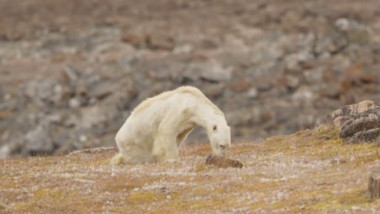 urs-polar-schimbare-climatica