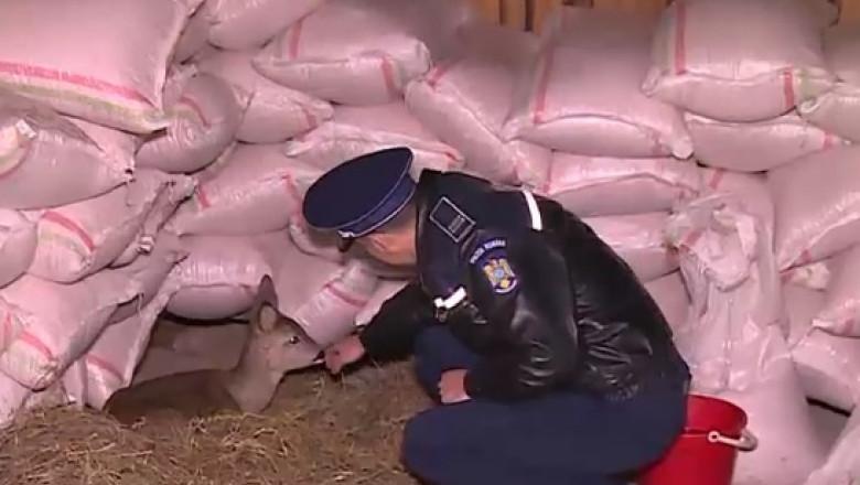 caprioara politist