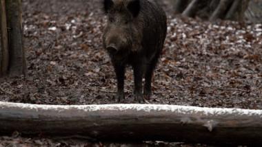 porc-mistret-vaci-ferma-salbaticie-348825