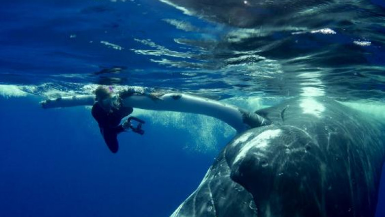 whale-saves-diver-from-shark-0