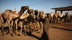 Thousands Of Camels Are Sold At Birqash Camel Market