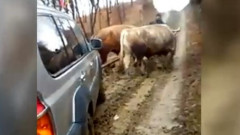 masina cu boi
