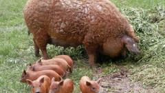 porci de mangalita