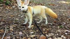 fennec-fox-vegan-diet-animal-abuse-jumanji-sonia-sae-16-5aa0fbe57c040__605