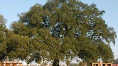 stejarul de pluta fluierator portugalia
