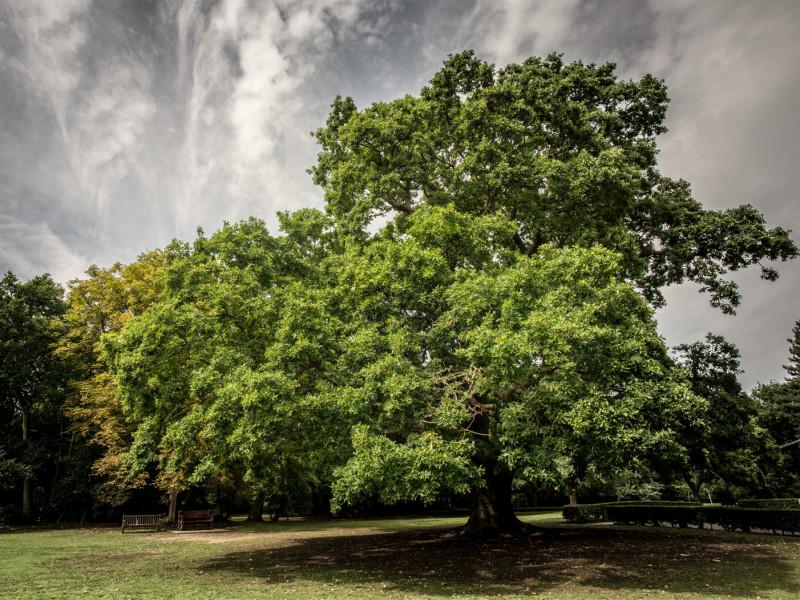 stejarul marea britanie