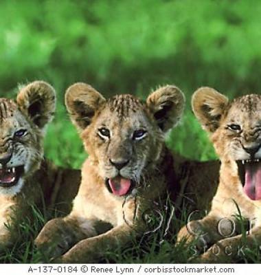 3-mad-lions.jpg