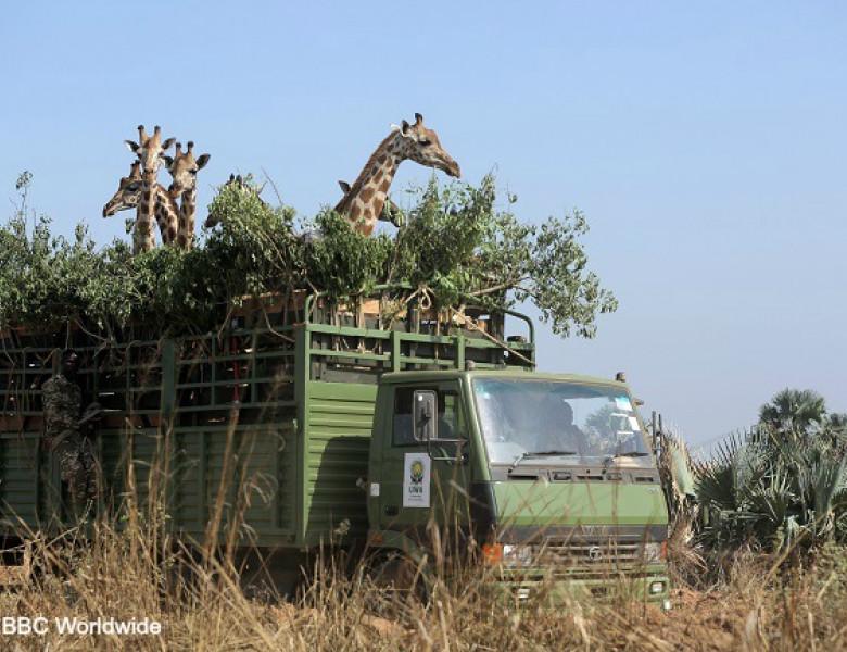 NWGiraffes-AfricasGentleGiants_Generic_004-cadfasfasf.jpg
