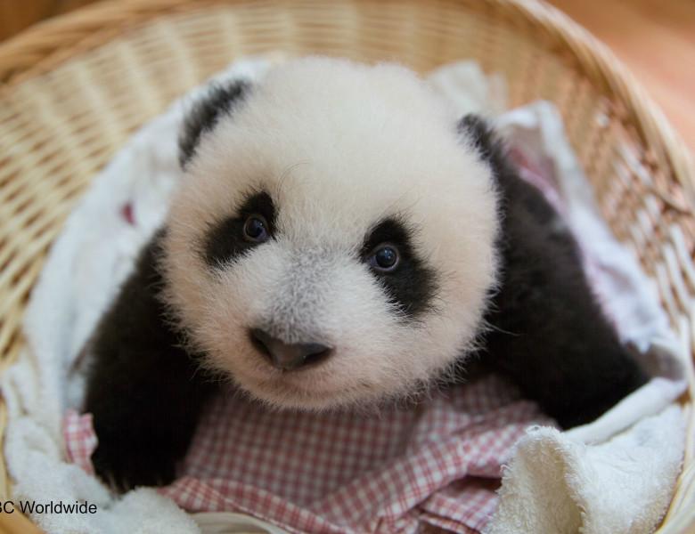 panda-babies-2fdfd.jpg