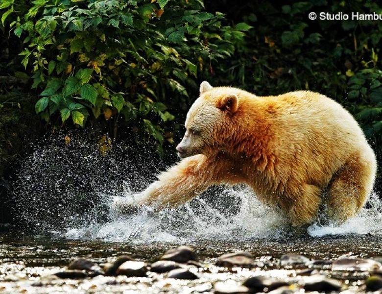 Spirit-Bear-3.jpg