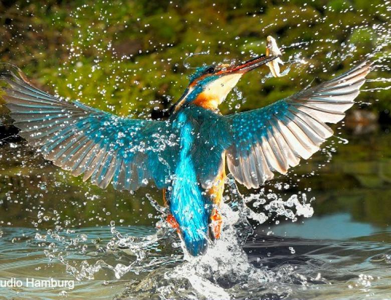 pescarusul-albastru.jpg