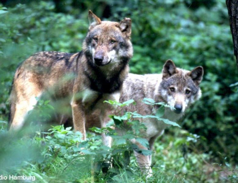 142_Schorfheide-Wolf_021.jpg