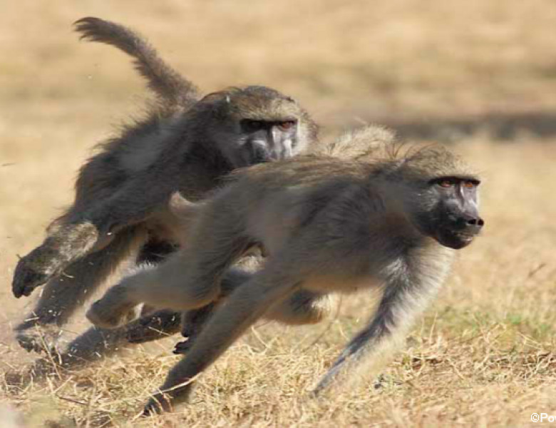 baboons.png