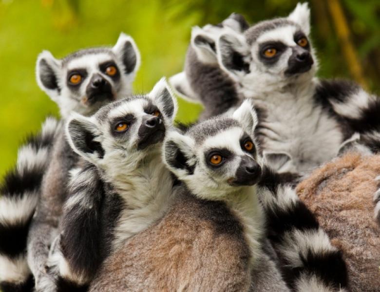 lemurieni.jpg