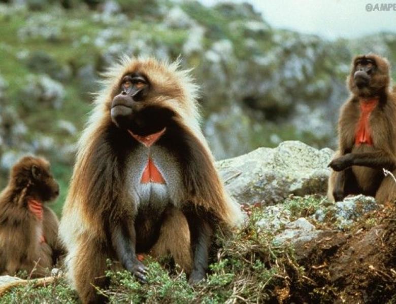 Harem-of-an-Ethiopian-Baboon-12.jpg