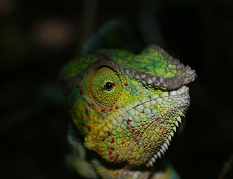 ChameleonsoftheWorld.jpg