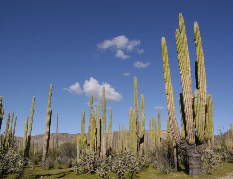 15-Forest-of-Cardon-Cactus-Baja-California.jpg