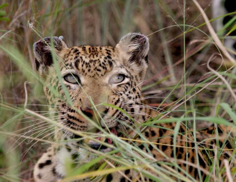 Magie-des-Leoparden_1.jpg