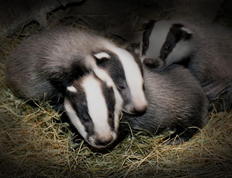 Badgers_©Andrew-Cooper.jpeg
