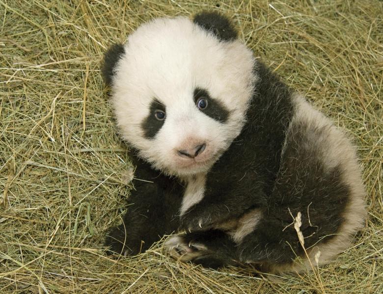 Panda_FuLong_11.jpg