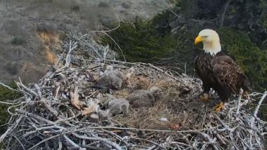 vultur cuib sua
