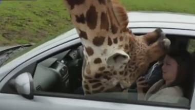girafa uk