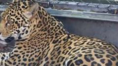 jaguar scapat