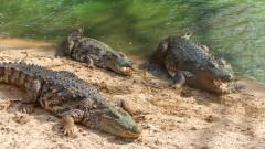 crocodili_shutterstock_1032083377