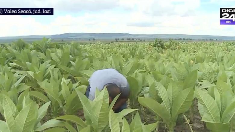 plantatie tutun3