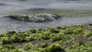 algele