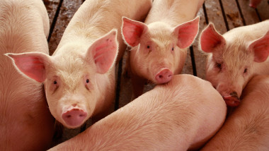 Misconceptions Surrounding Eating Pork And The Swine Flu Lower Hog Prices