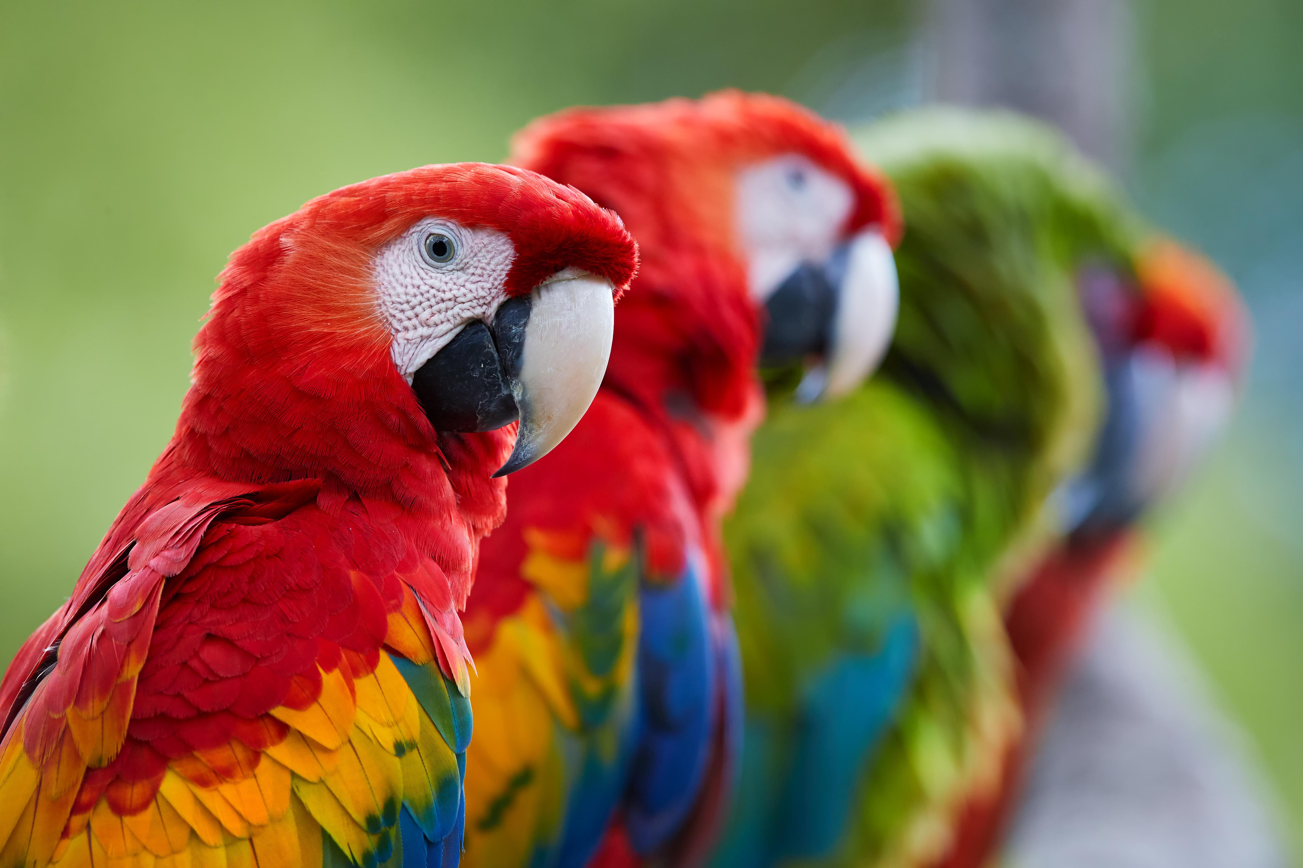 Papagalii pot lua decizii economice complexe ca sa faca profit cu un minimum de efort