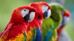 papagali Macaw (Ara)_shutterstock_784631011